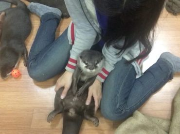 Lovable Otter Stuck to Its Master