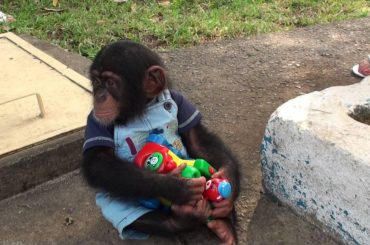 This Baby Chimp Won't Let Go of Its Toy Even For a Second