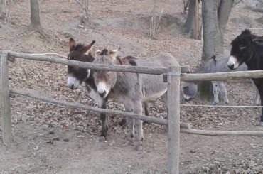 Oreste and Domenico: The Donkeys with Super Powers in Communication